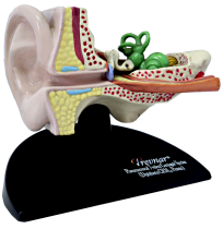 ANATOMICAL EAR MODEL